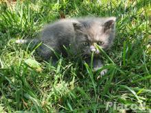 Félperzsa kiscica