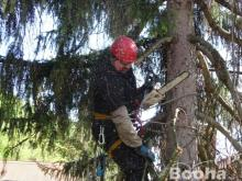 Veszélyes fa kivágás