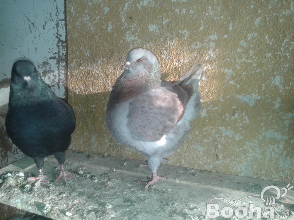 Kiváló KING galambok eladók!