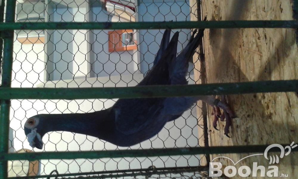 Karrier galambok