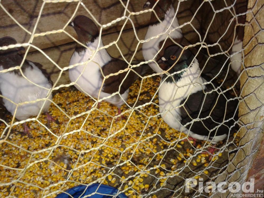 elado straszer galambok
