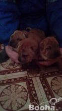 Sharpei kiskutyák