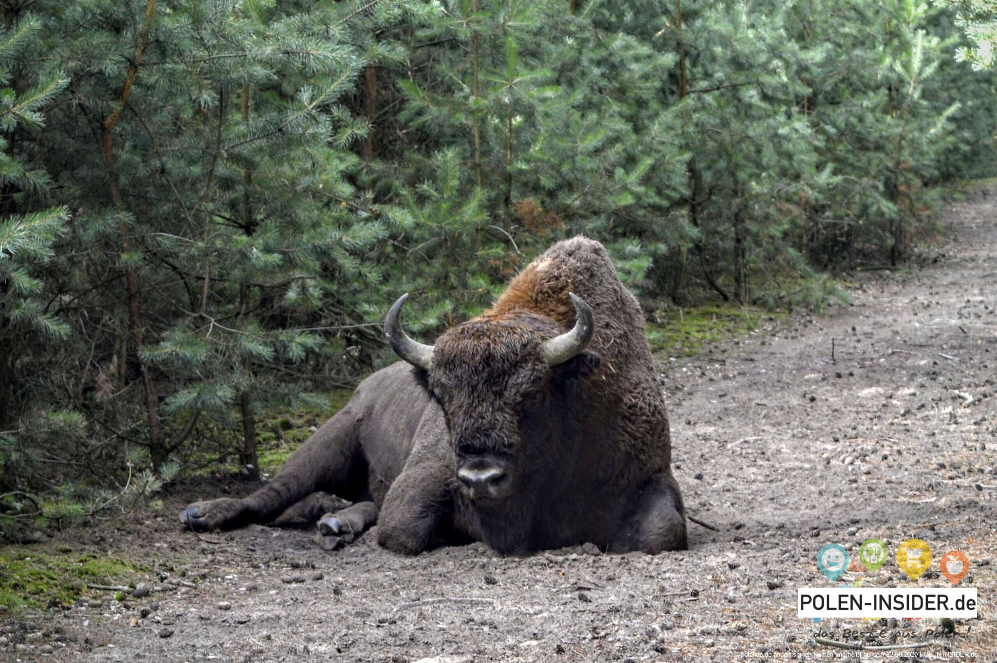 Wisent Lebus
