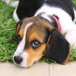 Beagle design egyedi szublimált textil méteráruhoz