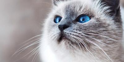 Kék szemű cica design egyedi szublimált textil méteráruhoz
