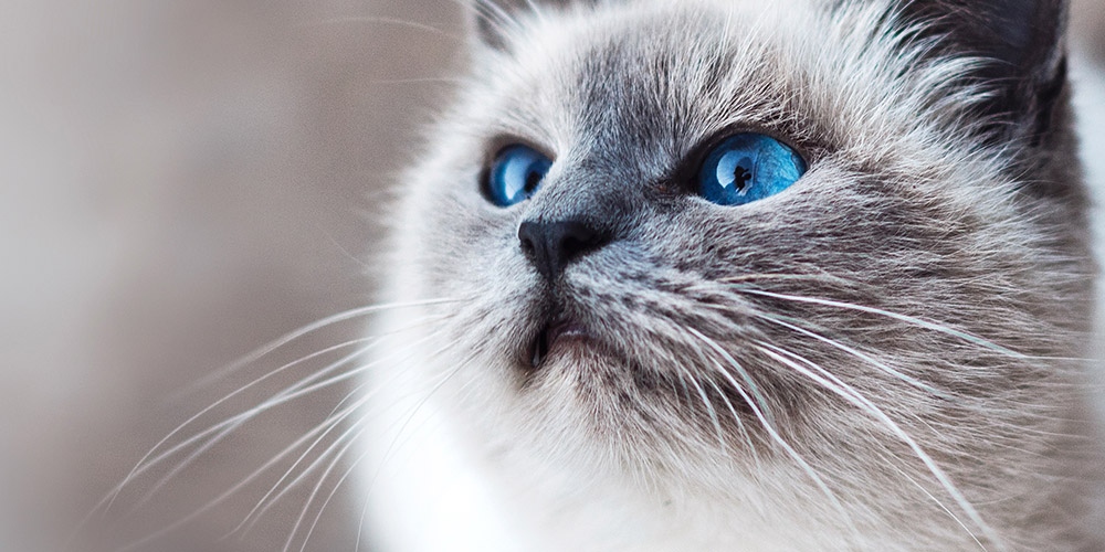 Kék szemű cica
