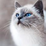 Kékszemű cica design egyedi szublimált textil méteráruhoz