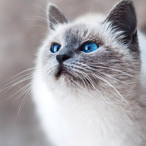 Kékszemű cica