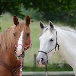Két ló design egyedi szublimált textil méteráruhoz
