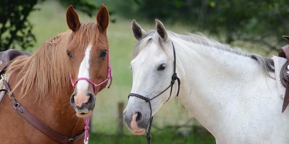 Két ló