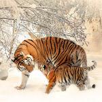 Tigris kölyökkel design egyedi szublimált textil méteráruhoz