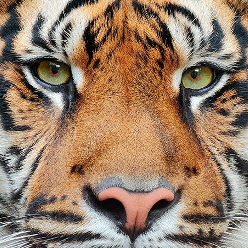 Tigrisszem