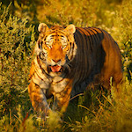 Vadászó tigris design egyedi szublimált textil méteráruhoz
