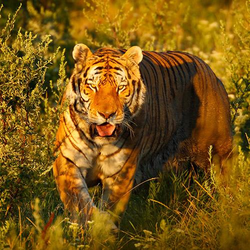 Vadászó tigris