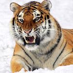 Vicsorgó tigris design egyedi szublimált textil méteráruhoz
