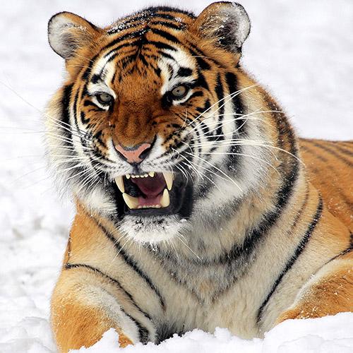 Vicsorgó tigris