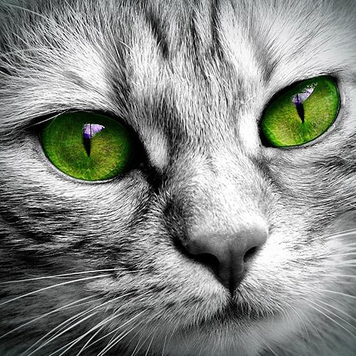 Zöld szemű cica