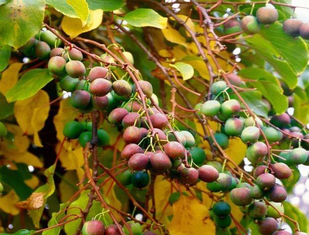 Rośliny Ogrodowe Malutkie Kiwi ładny Dom