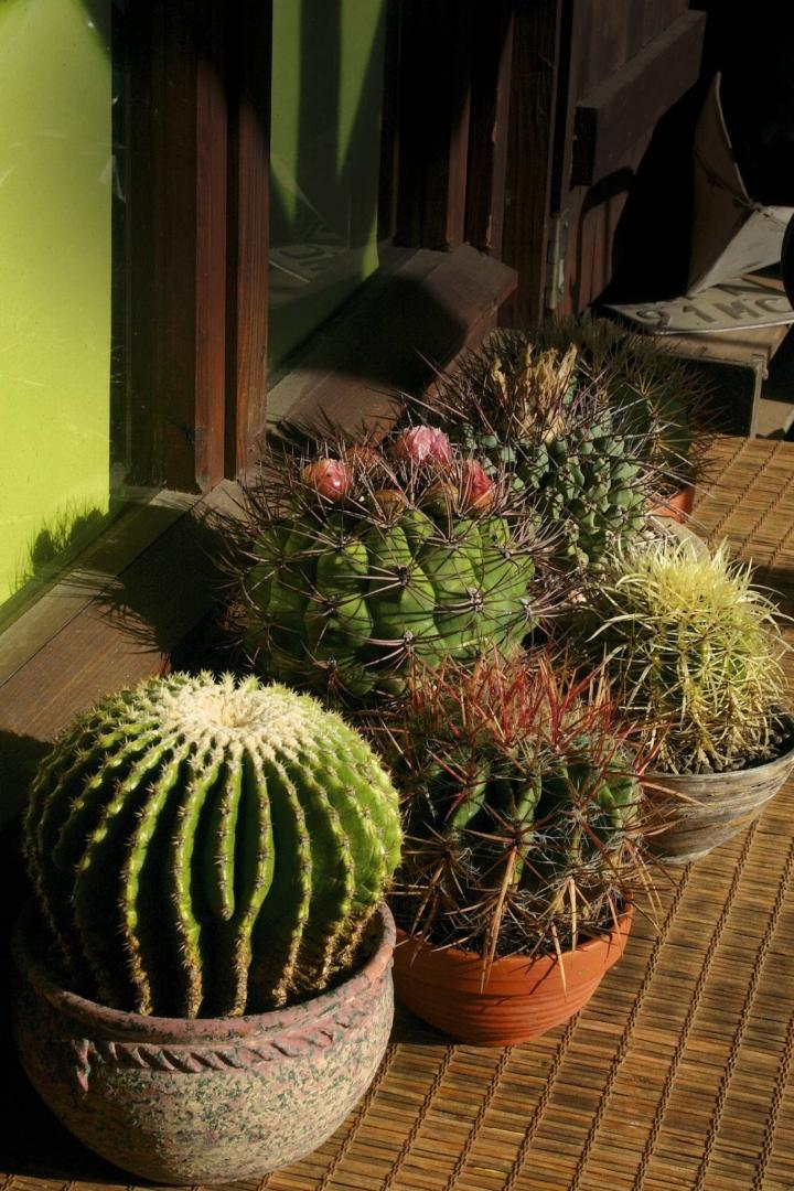 Kaktus Fotel Teściowej