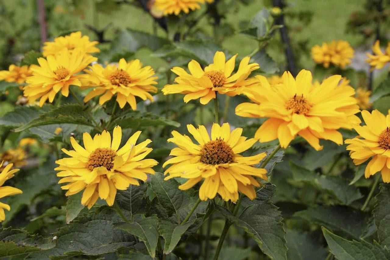 Kwiaty Jesienne Ogrodowe Nazwy