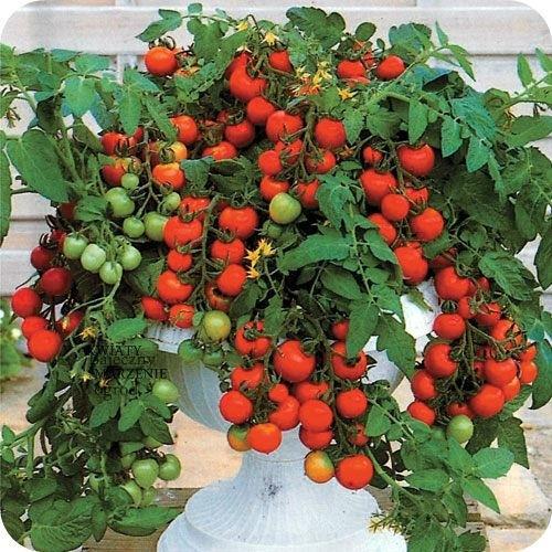 Jak Uprawiać Pomidory Na Balkonie Najlepsze Odmiany