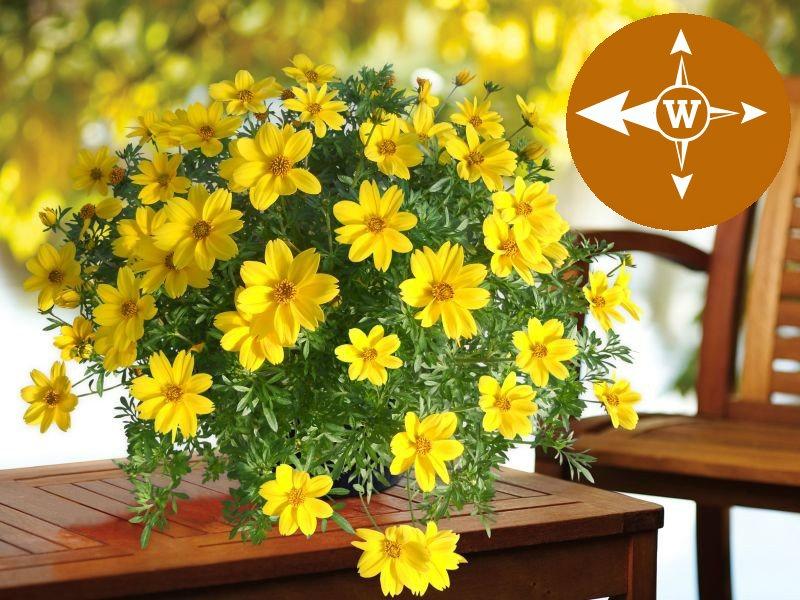 Kwiaty Na Balkon Zachodni