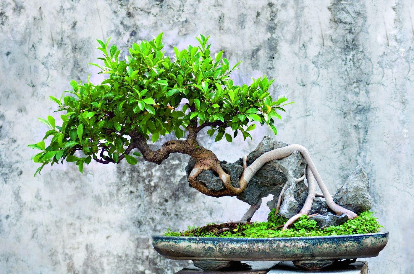 Fikusy Fikus Ginseng Fikus Benjamina Ficus Bonsai