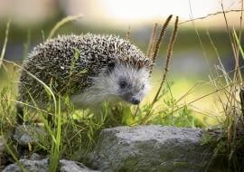 Jeż w naturze żyje zwykle kilka lat, natomiast w ogrodach zoologicznych zdarzały się jeże nawet 15-letnie.