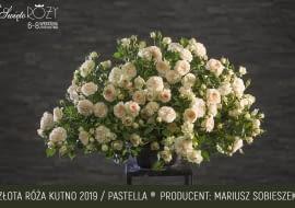 Róża odmiana Pastella