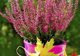 Wrzos to niewątpliwie symbol jesieni. Kwiaty jesienne