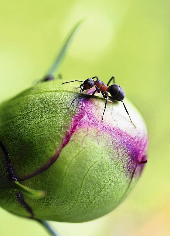 Mrówki Na Piwonii Porada Eksperta E Ogrody