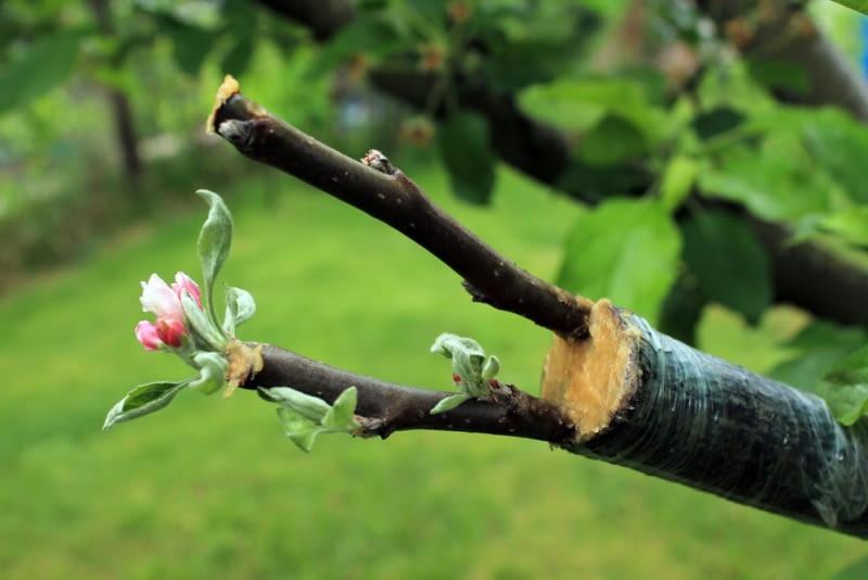 Wczesnowiosenne szczepienie drzew