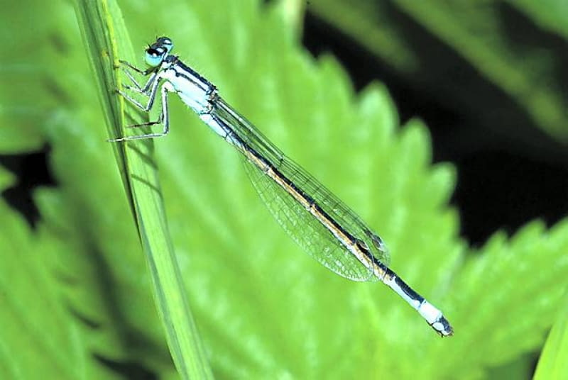 Łątka, podobnie jak inne ważki, nie pogardzi posiłkiem z komara