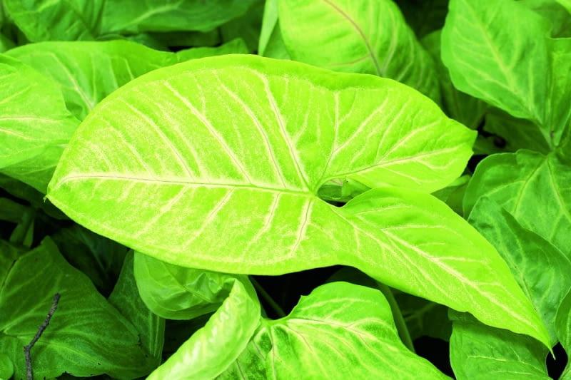 Syngonium 'White Butterfly' to wytrzymałe, bujne pnącze ozłocisto-białych liściach.