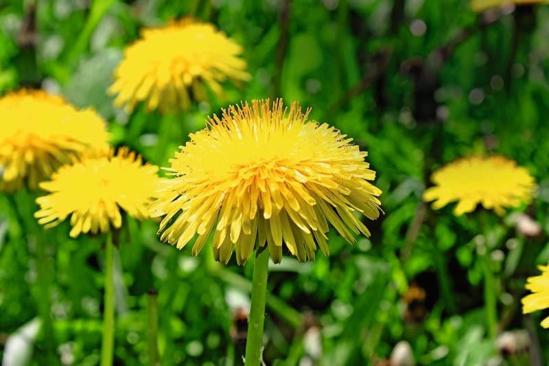 Mniszek lekarski, potocznie nazywany mleczem, ma jadalne korzenie, młode liście i kwiaty.