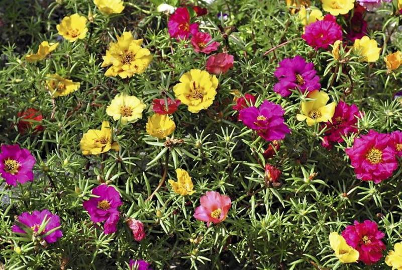 Kwiaty na wietrzny balkon. Portulakę wielkokwiatową można wysiać lub kupić jej rozsadę. Kwitnie aż do jesieni