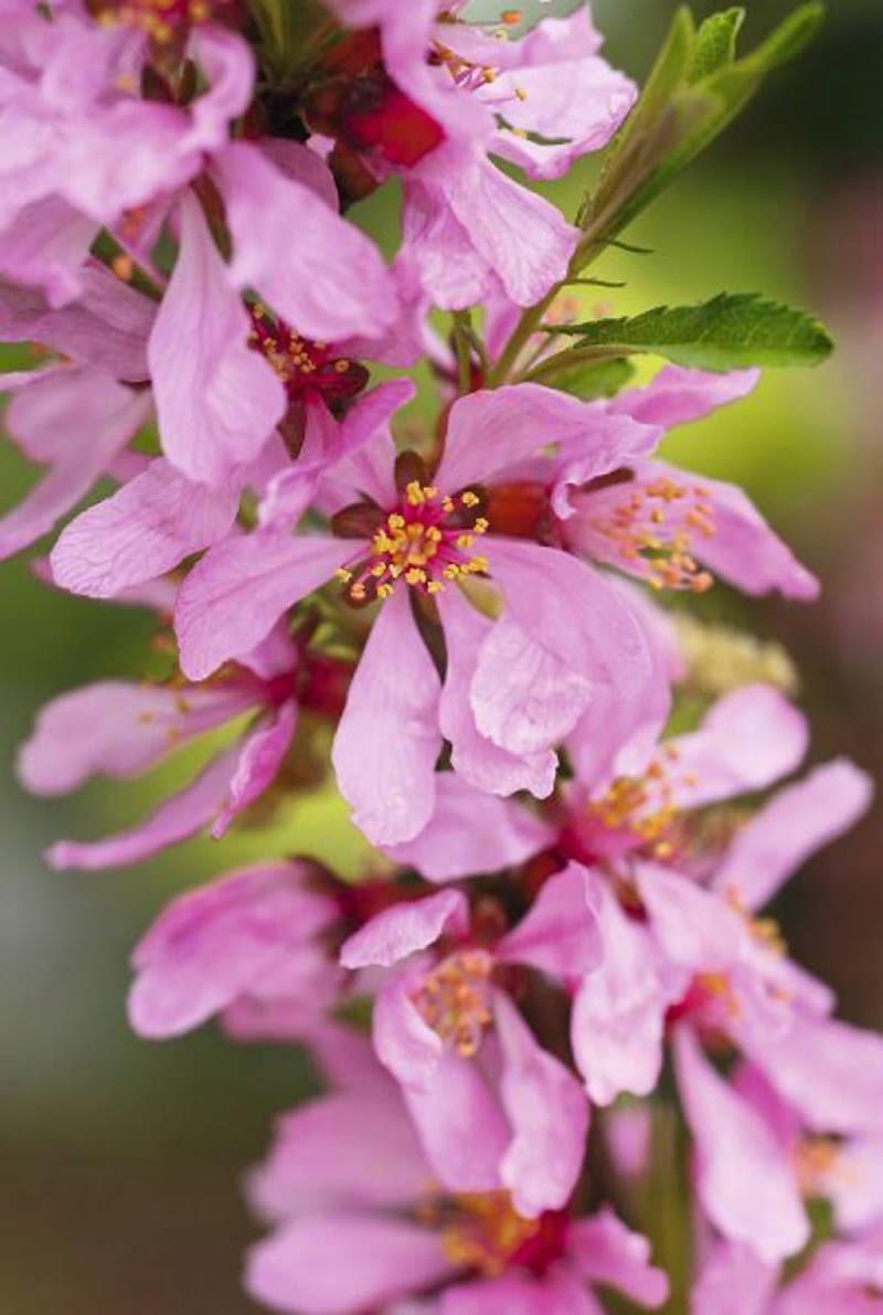 Migdałowiec karłowy (Prunus tenella) 'Fire Hill' to cenny krzew kwitnący wczesną wiosną - w szkółkach produkowane są również formy szczepione w formie malutkich drzewek