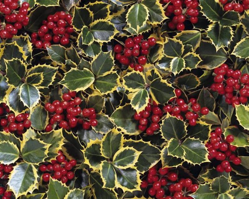 Ilex aquifolium 'Rubricaulis Aurea' SLOWA KLUCZOWE: Ilex aquifolium 'Rubricaulis Aurea' Rubricaulis Aurea Ilex aquifolium