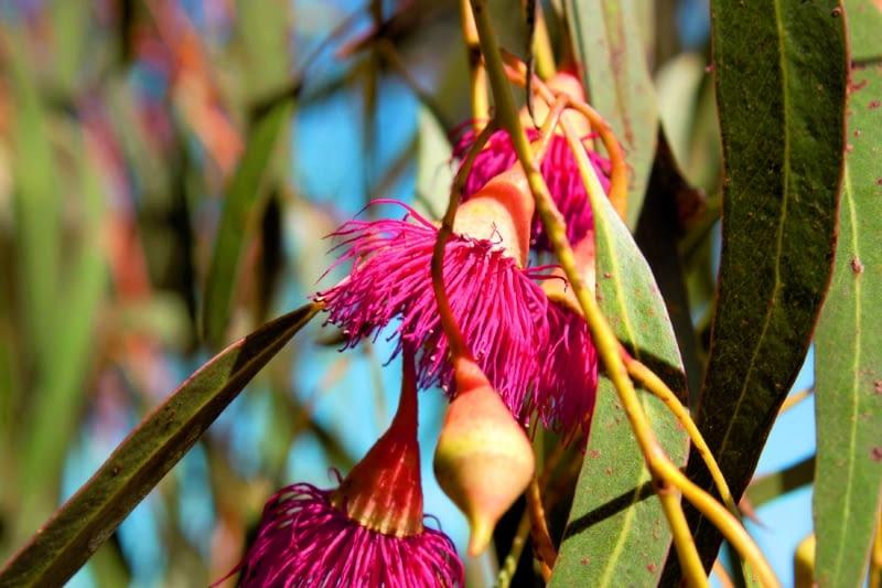 Eucalyptus_leucoxylon_rosea