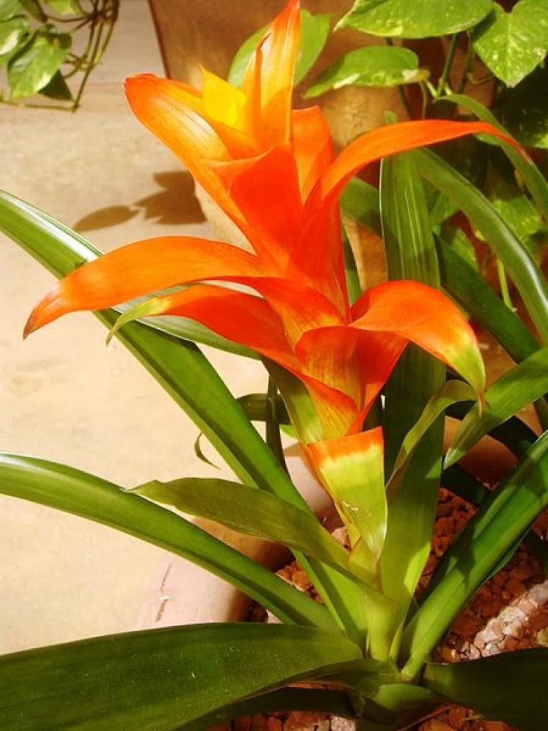 Guzmania Kwiat Podlewanie Rozmnazanie E Ogrody Rosliny Doniczkowe