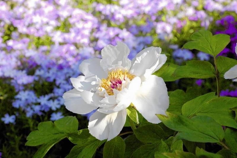Ozdobą kwiatów są złociste pręciki, a także kontrastujące kolorem słupki
