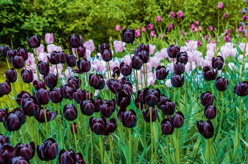 Tulipanowy duet: na pierwszym planie jedna z najciemniejszych odmian tych kwiatów, 'Queen of night'.