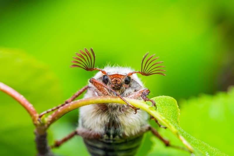 Chrabąszcz majowy - wiosenny szkodnik w sadzie.Wieczorny, niski lot chrabąszcza majowego budzi mieszane uczucia. Z jednej strony jego obecność w naszym ogrodzie zwiastuje problemy z larwami tego owada żerującymi na drzewach owocowych i warzywach, ale z drugiej strony... te jego pierzaste czułki i to brzęczenie. Może pamiętacie te czasy, kiedy chrabąszcze łapane do słoika były jedynym radioodbiornikiem we wsi?