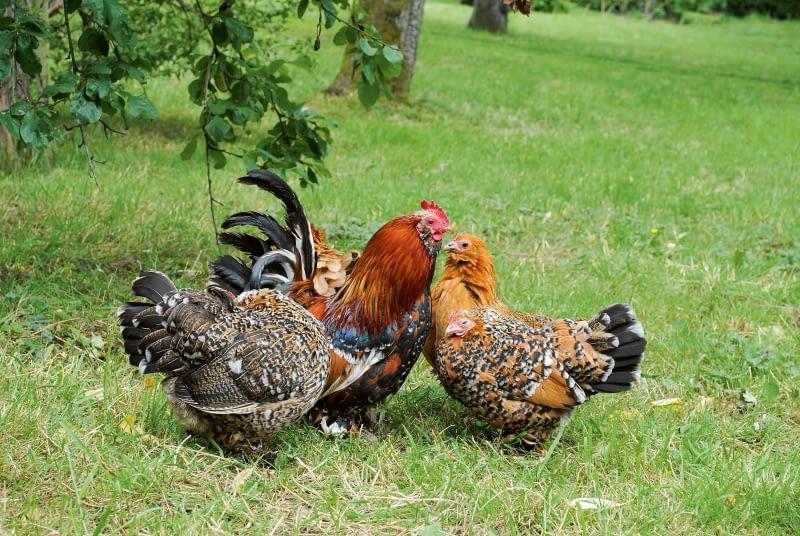 Kury w ogrodzie