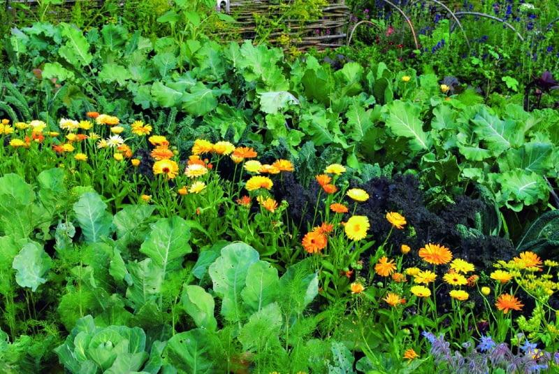 Nagietek rośnie między warzywami.