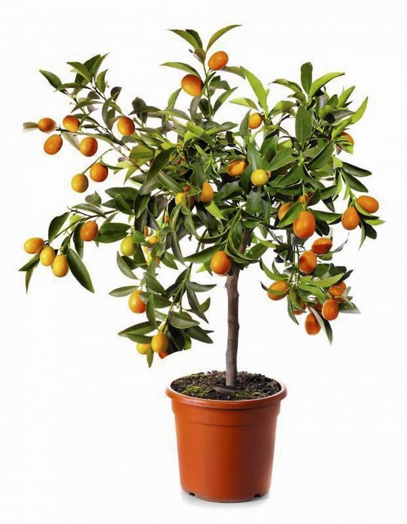 Drzewko Cytrusowe Awokado Palma Daktylowa Mogą Wyrosnąć Z