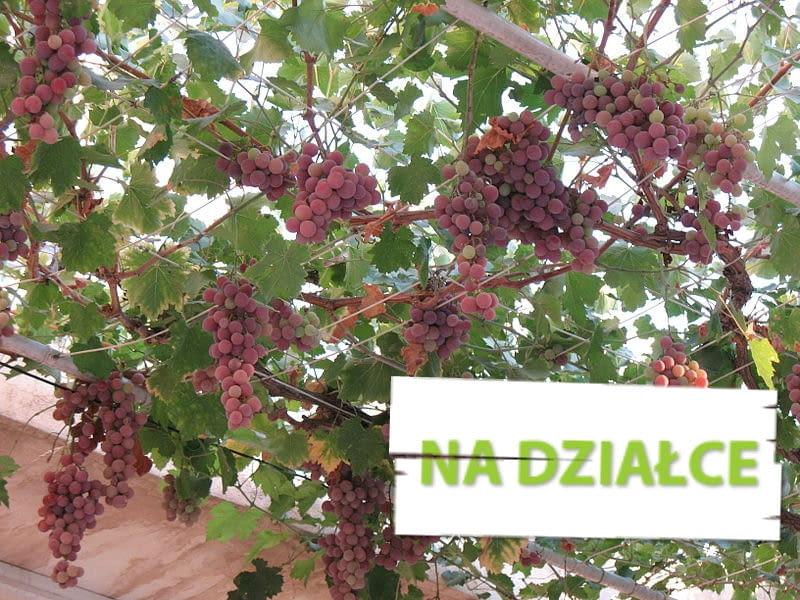 Winorośl o różowych gronach, podwieszona na siatce