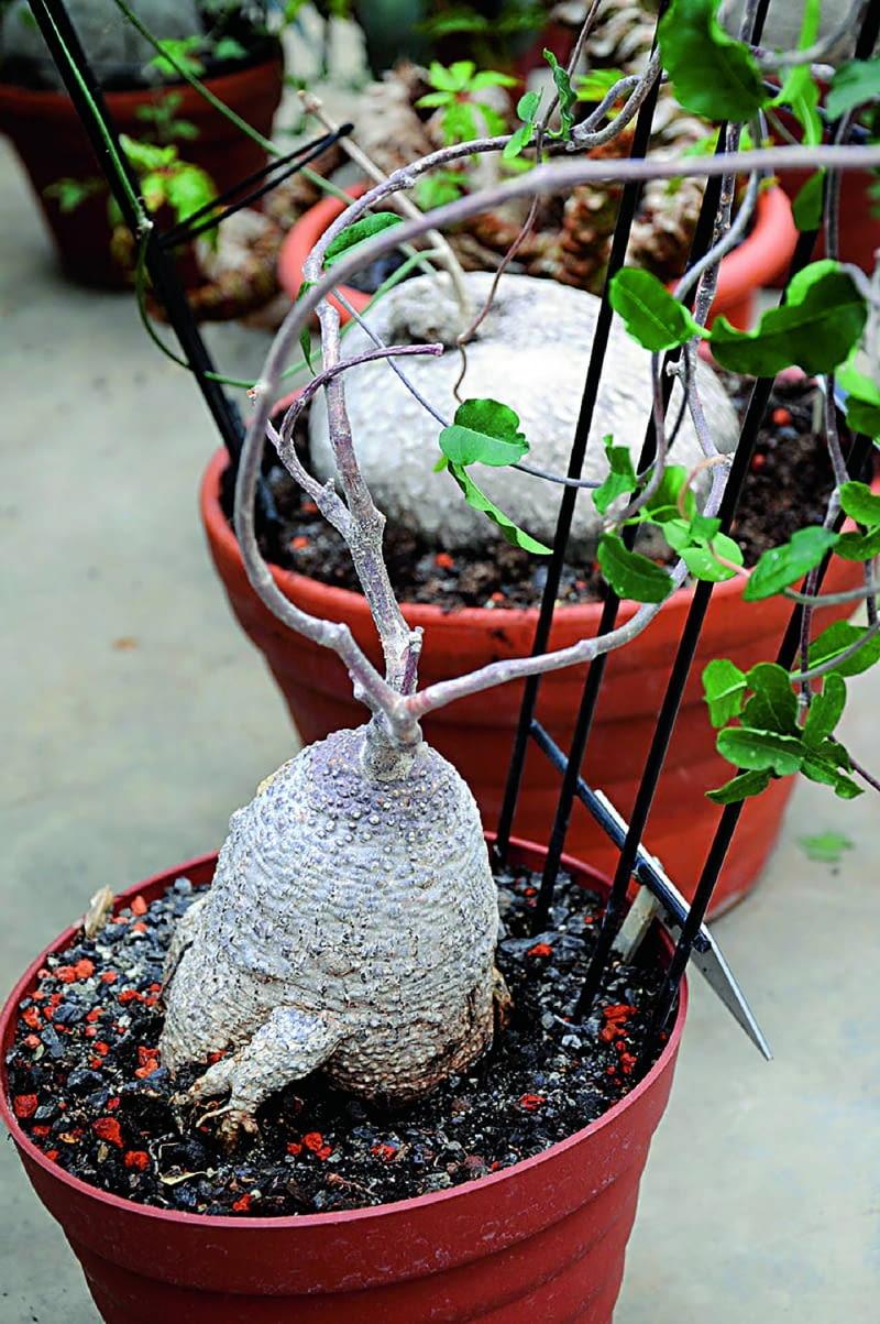 Fokeę zdobi zgrubienie na łodydze zwane kaudeksem. Roślina wymaga dużo światła.