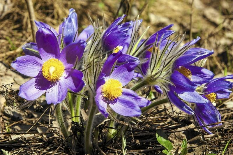 Sasanki - wszystkie gatunki występujące w Polsce objęte są ochroną prawną. Poniżej: inne nasze chronione rośliny.