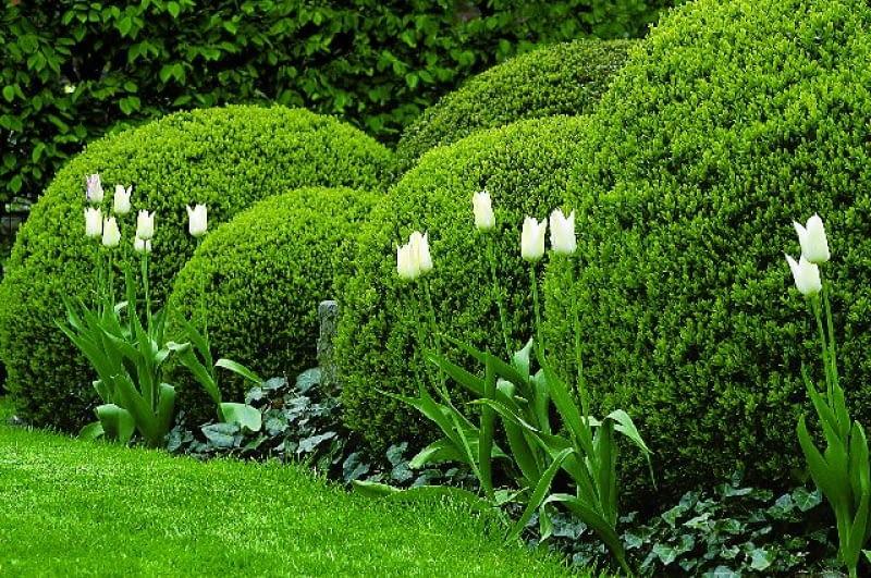 Przycięty w kule bukszpan. Jest efektowny przez cały rok, a poza tym na takim tle doskonale prezentują się sezonowe rośliny